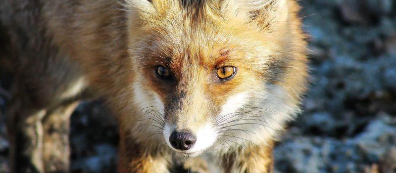 Fuchsbandwurm – gefährliche Zoonose –                         Infektionsgefahr für den Menschen steigt aktuell deutlich! Gastbeitrag von Fr. Dr.med.vet. Anna Kübber-Heiss