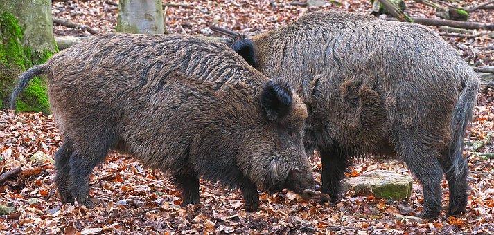 Afrikanische Schweinepest – Risikofaktoren, Vorkehrungen