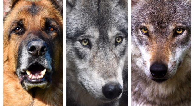 Hund, Wolf oder gar Hybride?