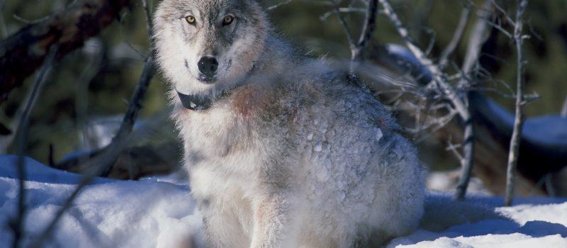 Was stimmt nicht mit dem Wolf? Der Wolf im Kreuzverhör der DJZ!