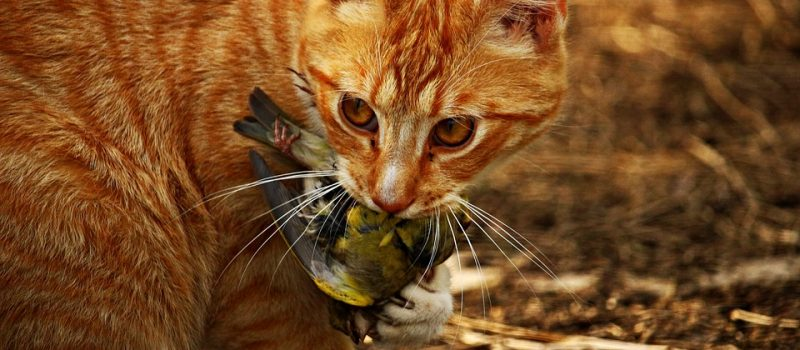 Viele Katzen sind der Vögel Tod …