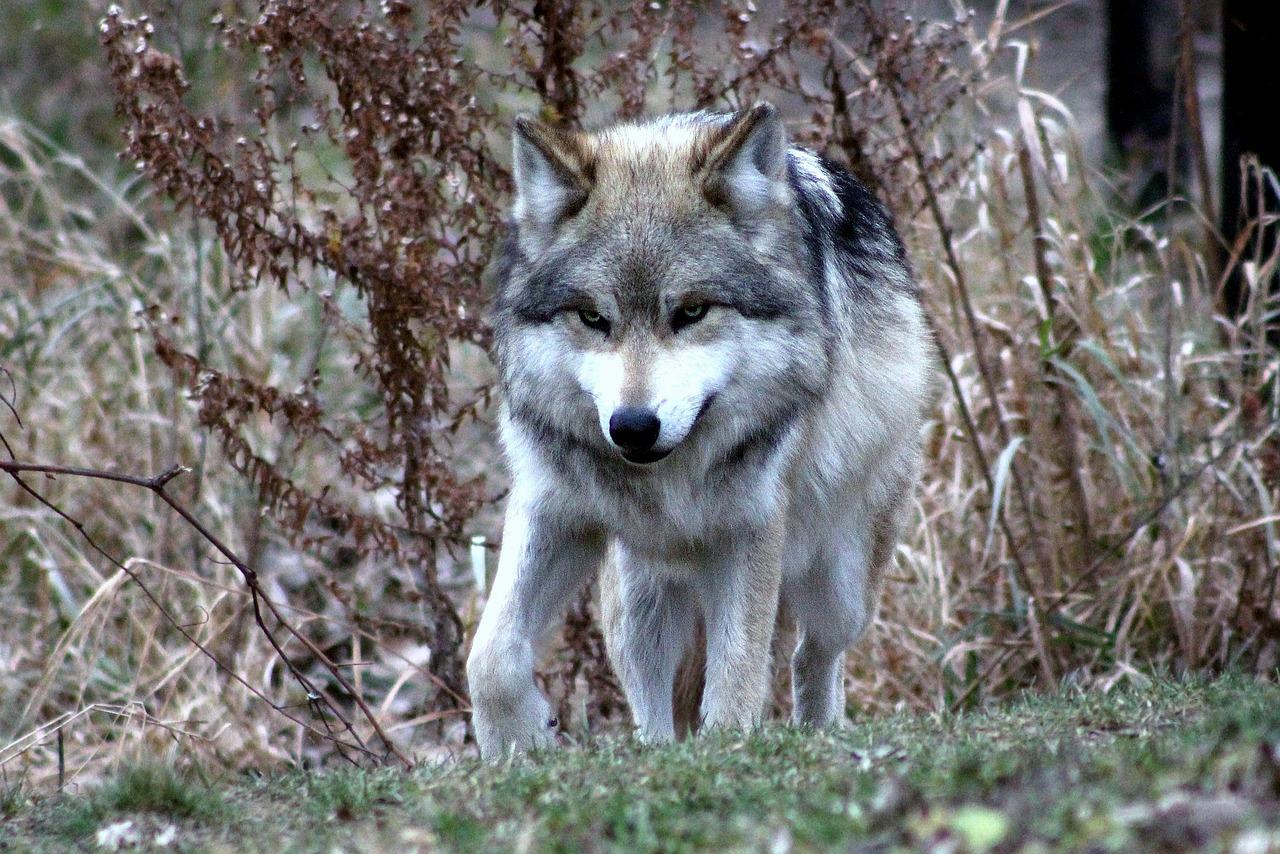 Wolfsrisse häufen sich